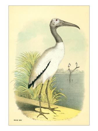 wood-ibis