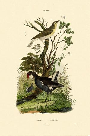 wood-warbler-1833-39
