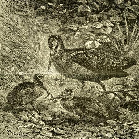 woodcock-austria-1891