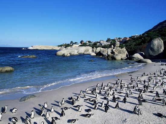 yadid-levy-african-penguins-at-boulder-beach-in-simon-s-town-near-cape-town-south-africa-africa
