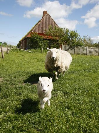 yadid-levy-marsk-lambs-at-a-farm-in-dalen-jutland-denmark-scandinavia-europe