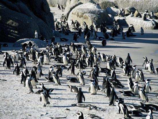 yadid-levy-penguins-at-boulder-beach-in-simon-s-town-near-cape-town-south-africa-africa