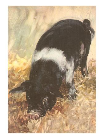 young-chester-white-pig