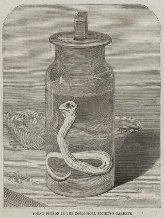 young-python-in-the-zoological-society-s-gardens