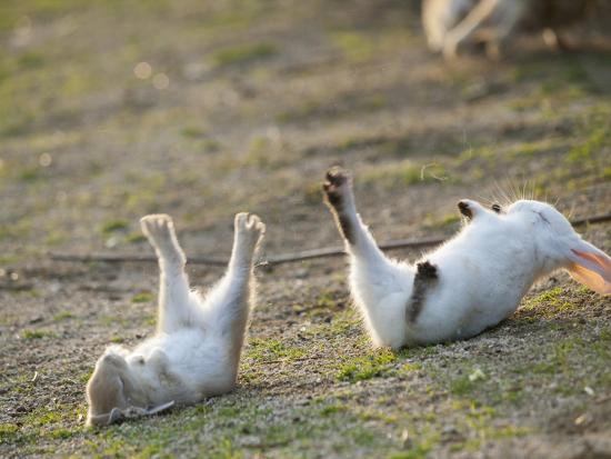 yukihiro-fukuda-feral-domestic-rabbit-oryctolagus-cuniculus-baby-rabbits