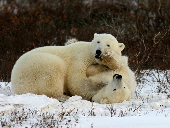 yvette-cardozo-polar-bear-ursus-maritimus-churchill-manitoba