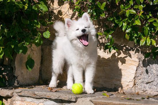 zandria-muench-beraldo-american-eskimo-puppy-ready-to-play-ball