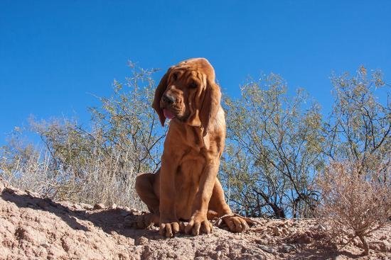 zandria-muench-beraldo-bloodhound-in-the-sonoran-desert