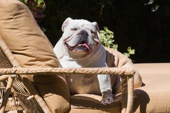 zandria-muench-beraldo-bulldog-reclining
