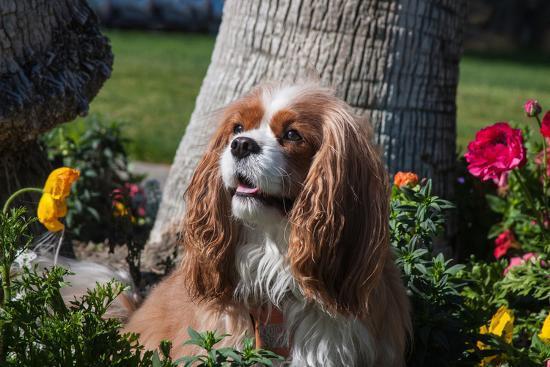 zandria-muench-beraldo-cavalier-sitting-in-a-flowerbed