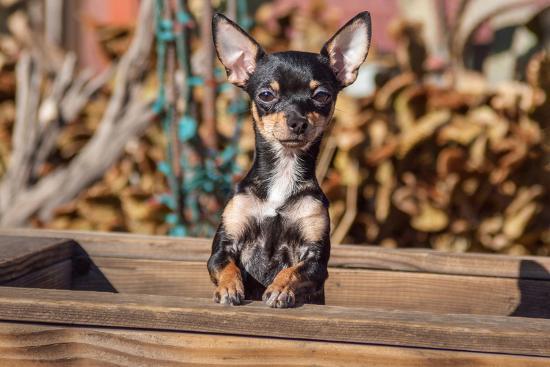 zandria-muench-beraldo-chihuahua-looking