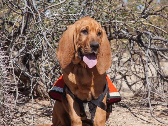 zandria-muench-beraldo-search-and-rescue-bloodhound-in-training-in-the-sonoran-desert