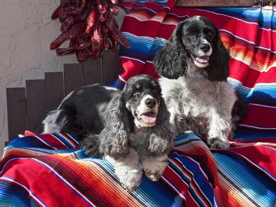 zandria-muench-beraldo-two-cocker-spaniels-together-on-a-mexican-blanket-new-mexico-usa