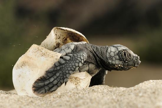 zankl-loggerhead-turtle-caretta-caretta-hatching-dalyan-delta-turkey-july