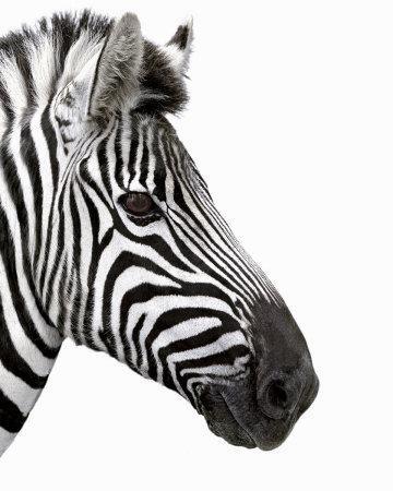 Zebra in Profile Art P...