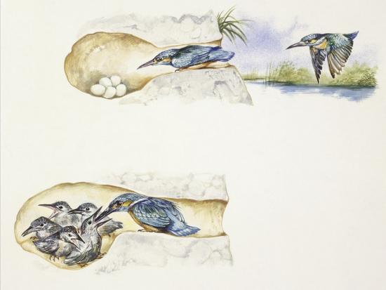 zoology-birds-european-kingfisher-alcedo-atthis