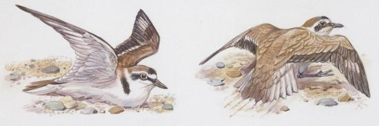 zoology-birds-kentish-plover