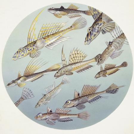 zoology-fishes-callionymus-genera-fishes-different-species