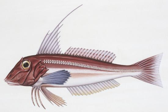 zoology-fishes-long-finned-gurnard-aspitriglia-obscura-illustration