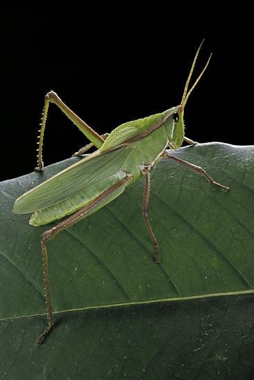 Prionolopha Serrata (Serrate Lubber Grasshopper)-Paul Starosta-Photographic Print