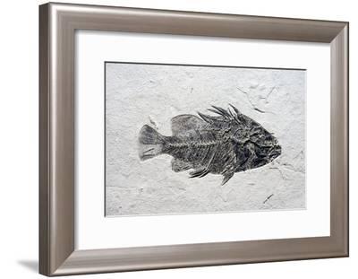 Priscacara Fish Fossil-Dirk Wiersma-Framed Photographic Print