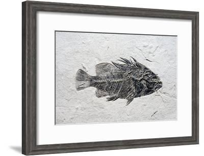 Priscacara Fish Fossil-Dirk Wiersma-Framed Photographic Print