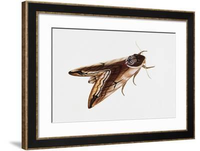 Privet Hawk Moth (Sphinx Ligustri), Sphingidae, Artwork by Rebecca Hardy--Framed Giclee Print