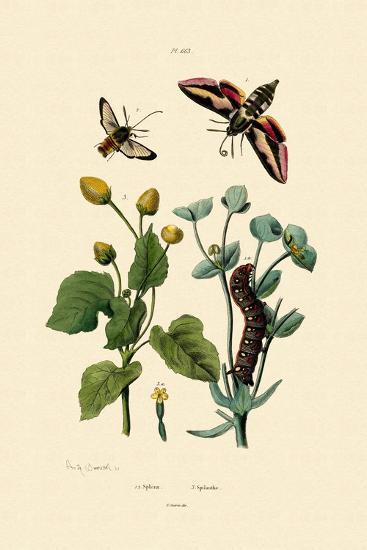 Privet Hawkmoth, 1833-39--Giclee Print