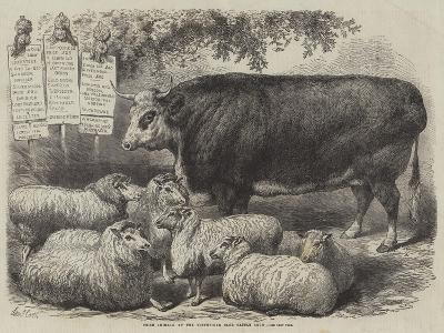Prize Animals at the Smithfield Club Cattle Show-Samuel John Carter-Giclee Print