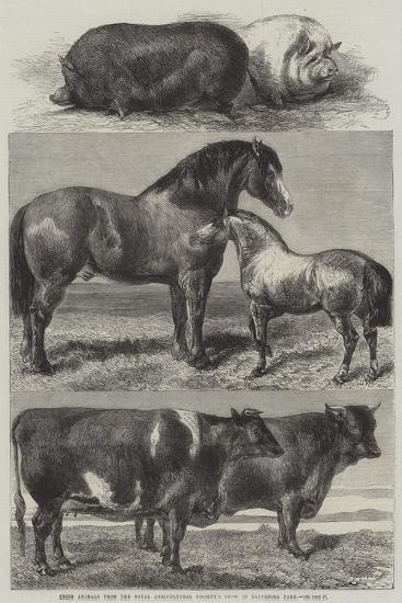 Prize Animals from the Royal Agricultural Society's Show in Battersea Park-Harrison William Weir-Giclee Print