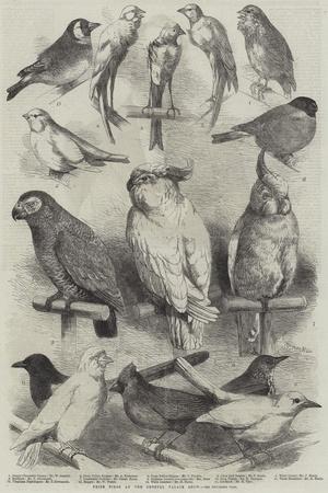 https://imgc.artprintimages.com/img/print/prize-birds-at-the-crystal-palace-show_u-l-pumm660.jpg?p=0