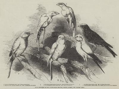 Prize Canaries at the Nottingham Poultry, Pigeon, Rabbit, and Canary Show-Harrison William Weir-Giclee Print