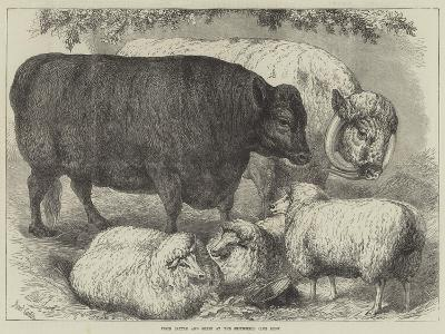 Prize Cattle and Sheep at the Smithfield Club Show-Samuel John Carter-Giclee Print