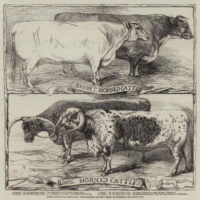 Prize Cattle from the Royal Agricultural Society's Show at Warwick-Harrison William Weir-Giclee Print