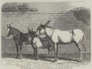 Prize Donkeys and Mule at the Show in the Agricultural Hall, Islington