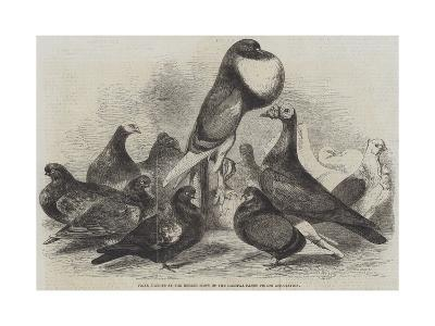 Prize Pigeons at the Recent Show of the Halifax Fancy Pigeon Association-Harrison William Weir-Giclee Print