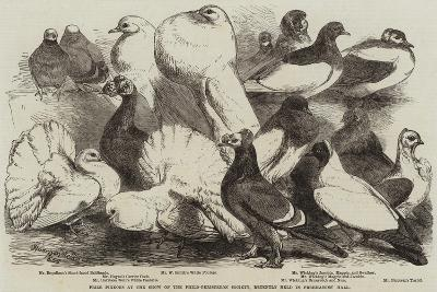 Prize Pigeons at the Show of the Philo-Peristeron Society, Recently Held in Freemasons' Hall-Harrison William Weir-Giclee Print