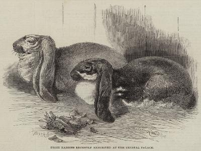 Prize Rabbits Recently Exhibited at the Crystal Palace-Harrison William Weir-Giclee Print