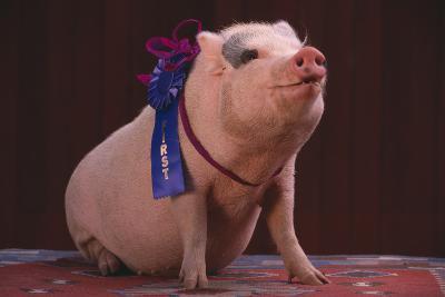 Prize-Winning Pig-DLILLC-Photographic Print