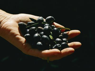 Prized Worldwide, These Fresh Hand-Picked Olives Will Soon Be Made into Oil-Ira Block-Photographic Print
