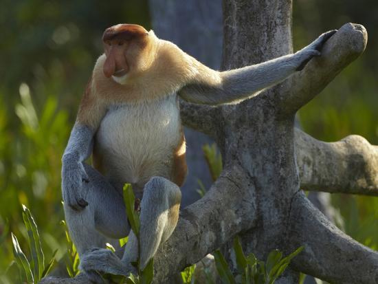 Proboscis Monkey Male Sitting, Sabah, Malaysia-Tim Fitzharris-Photographic Print