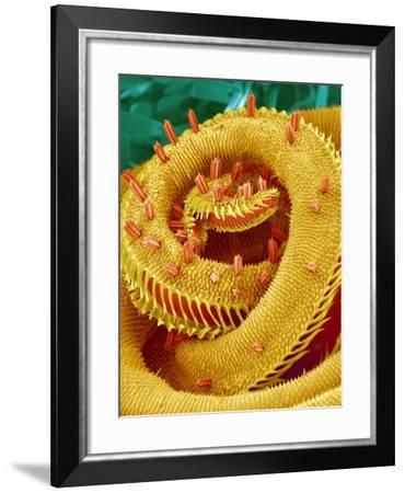 Proboscis Tip of a Swallowtail Butterfly-Micro Discovery-Framed Photographic Print