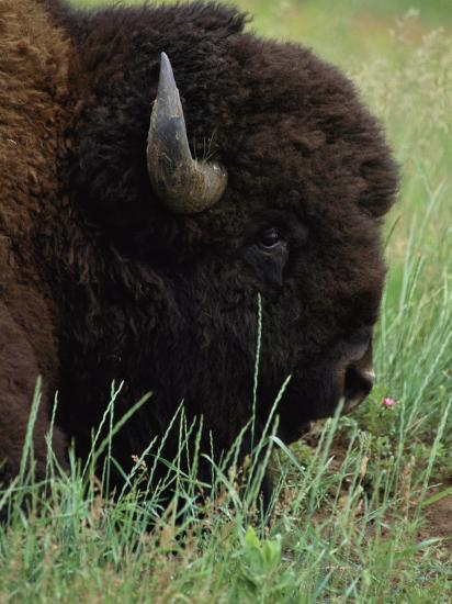Profile of an American Bison-Annie Griffiths Belt-Photographic Print