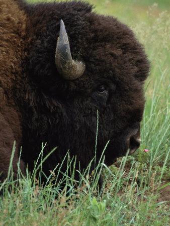 https://imgc.artprintimages.com/img/print/profile-of-an-american-bison_u-l-p4grwe0.jpg?p=0