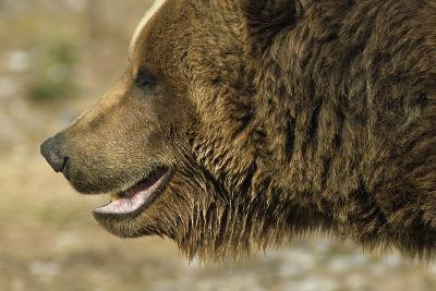 Profile of Brown Bear Denali Np in Alaska Spring-Design Pics Inc-Photographic Print
