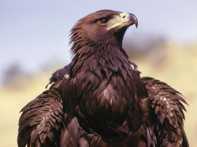 Profile of Golden Eagle-Jeff Foott-Photographic Print