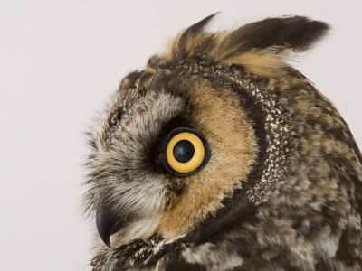 Profile of the Head of a Long-Eared Owl, Asio Otus-Joel Sartore-Photographic Print