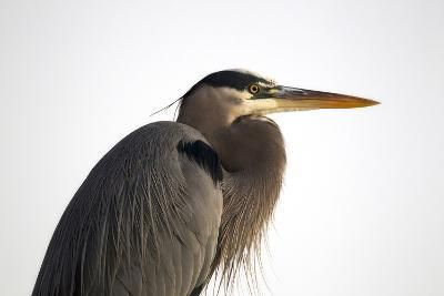 Profile Portrait of An Adult Great Blue Heron, Ardea Herodias-Robbie George-Photographic Print