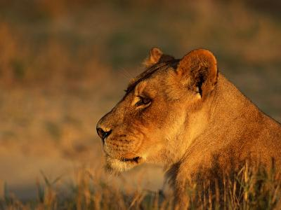 Profile Portrait of an African Lioness-Beverly Joubert-Photographic Print