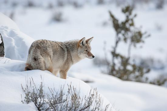 Profile Portrait of an Alert Coyote Standing in Snow-Tom Murphy-Photographic Print